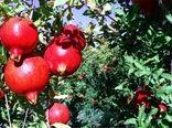 برداشت ۱۴۵۰ تُن انار از باغات آذربایجان غربی
