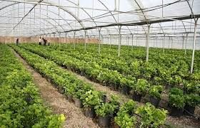 افزایش کشتهای گلخانهای در خراسان شمالی در دولت تدبیر و امید
