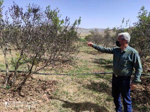 سرمای بهاره به باغ های ارسنجان آسیب زد