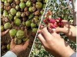 برداشت محصول از سطح باغات پسته و گردو شهرستان البرز
