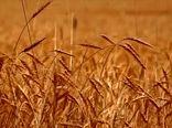 حرکت برای دروی طلای با برکت