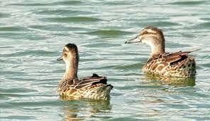 امسال شکار پرندگان آبزی در تمام مناطق استان فارس ممنوع است
