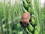مبارزه با آفت سن گندم در مزارع غلات شهرستان هریس