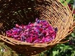 331 هکتار از مزارع کشاورزی استان به کشت گیاهان دارویی اختصاص دارد