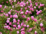 استقبال از پرورش گل محمدی در خراسان شمالی