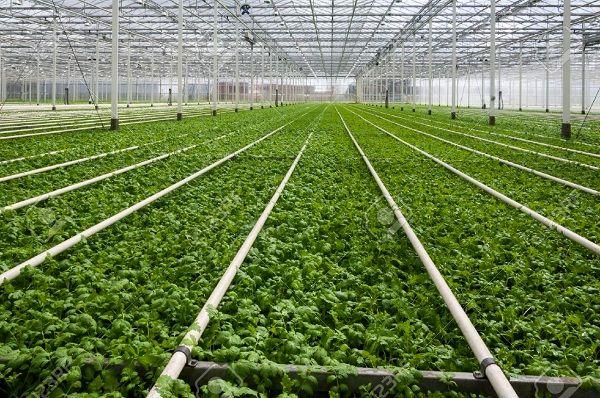 کشوری کوچک تغذیهکننده جهان/ هلند به غول کشاورزی دنیا تبدیل میشود