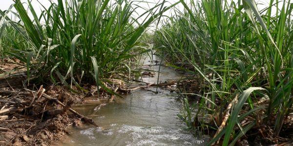 صرفه جویی ۶۵ مترمکعبی آب در هکتار توسط کشت و صنعت نیشکر دهخدا/ تاکید در برداشت سبز نیشکر