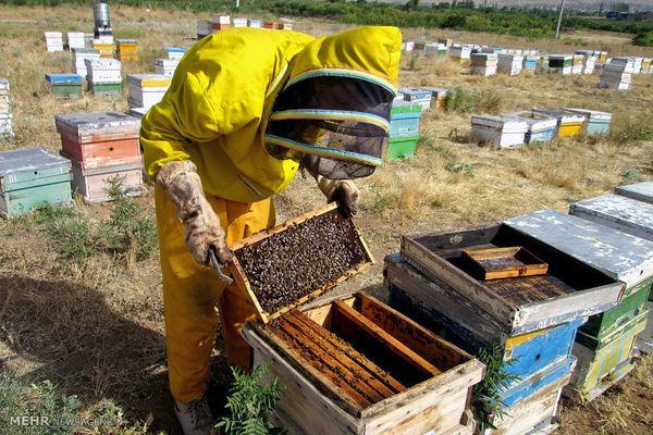 جایگاه نخست سرانه تعداد کلنی زنبور عسل به اصفهان رسید