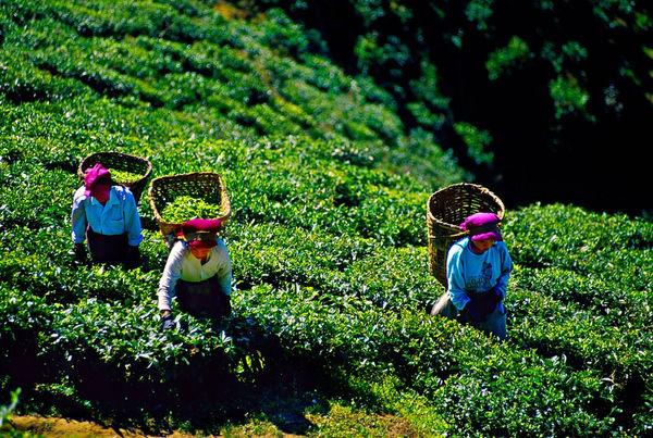 ترویج شیوههای پایدار و حمایت از کشاورزان خردهپا در بخش چای