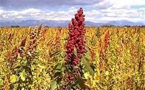 بیشترین سطح زیرکشت گیاه کینوا در قاینات خراسان جنوبی