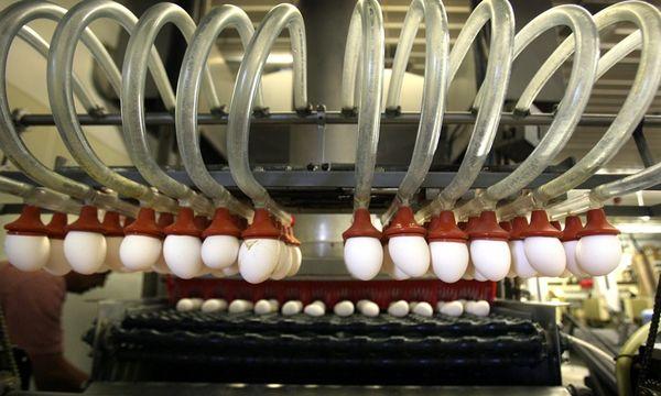 وجود 5000 واحد مرغداری غیرمجاز در کشور/ تأمین کل تخممرغ انگلیس با چهار شرکت بزرگ