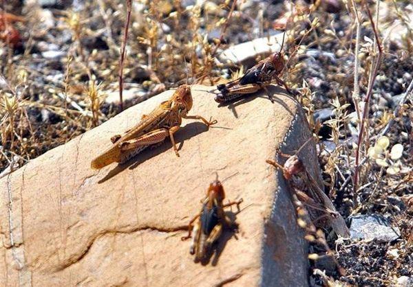 پایان مبارزه با ملخ صحرایی در مناطق شهداد و گلباف شهرستان کرمان