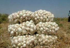 پیش بینی تولید بیش از 1800 تن پیاز سفید محلی در میاندورود