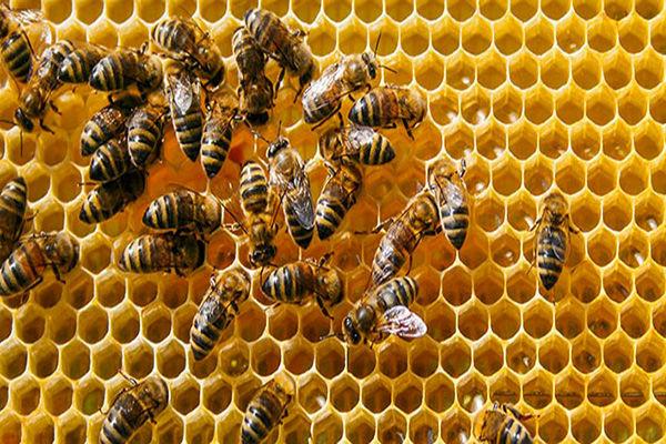 افزایش ۴۰ درصدی تولید عسل در ابرکوه