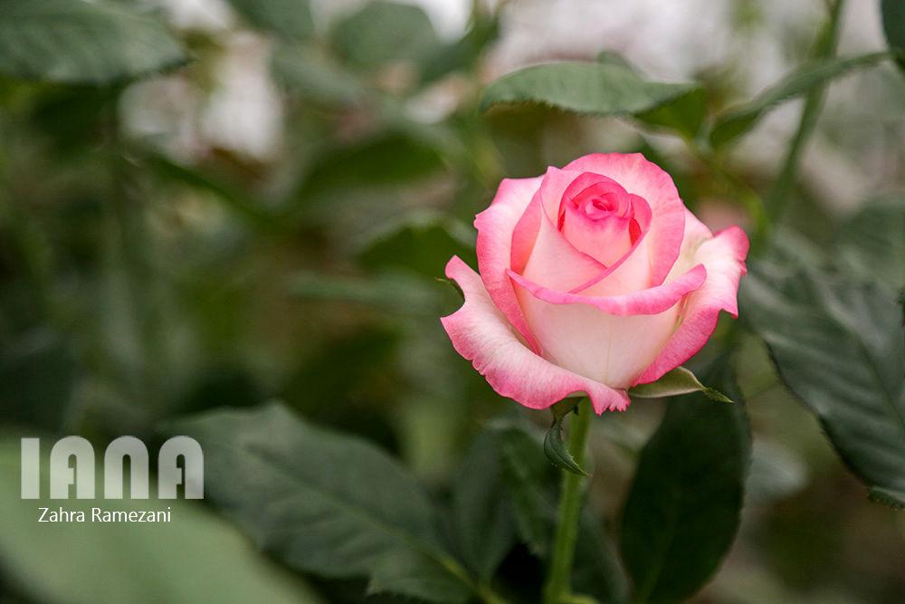 گلخانه شهاب گل خمین