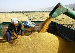 یک هزار تن سبوس در راه استان برای دامداران