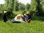 ۶۹ هزار تن برگ سبز چای از چایکاران خریداری شد
