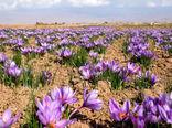 افزایش 10 درصدی تولید زعفران در خراسان شمالی