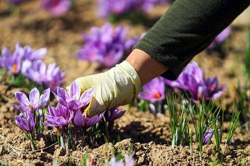 پیش بینی تولید 180 کیلوگرم زعفران در مرودشت