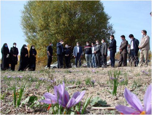 کشت 13 هزار هکتار زعفران در شهرستان اهر