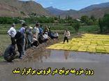 روز مزرعه برنج در قزوین برگزار شد