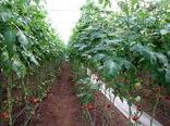 1570 تن  سبزی و صیفی در  گلخانههای شهرستان قزوین تولید شد