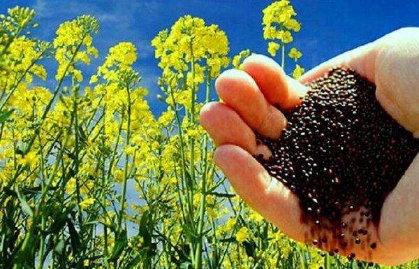 آغاز خرید تضمینی بیش از 1500 تن  دانه روغنی کلزا از مزارع  شهرستان نقده