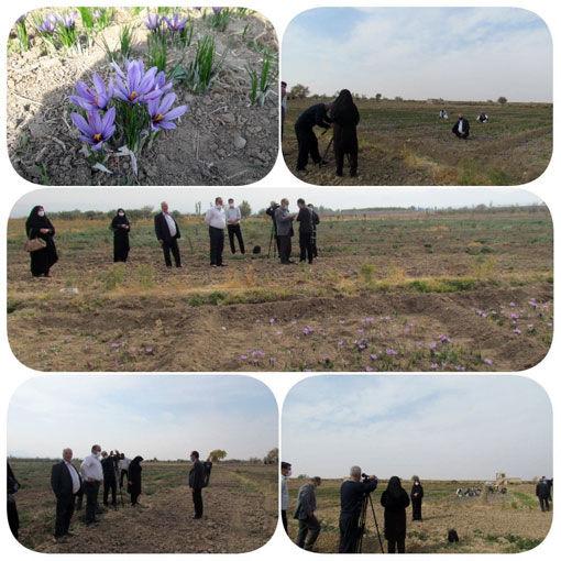 آغاز برداشت زعفران در شهرستان آذرشهر
