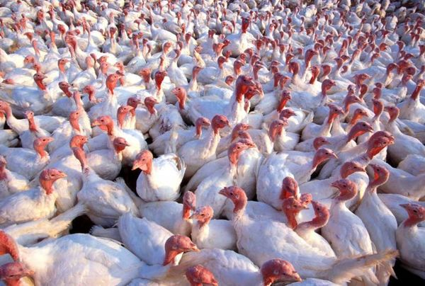 تولید سالانه ۵۰۰ تن گوشت بوقلمون در خراسانجنوبی
