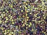 مدیر جهاد کشاورزی آبدانان از آغاز برداشت زیتون خبر داد