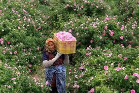 برداشت گل محمدی در شهرستان بردسیر