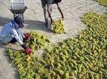 یکی از نیازهای اساسی خراسان شمالی وجود واحدهای فرآوری انگور است