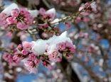 افت ۴۰ درصدی محصول در باغات سرمازده کیار