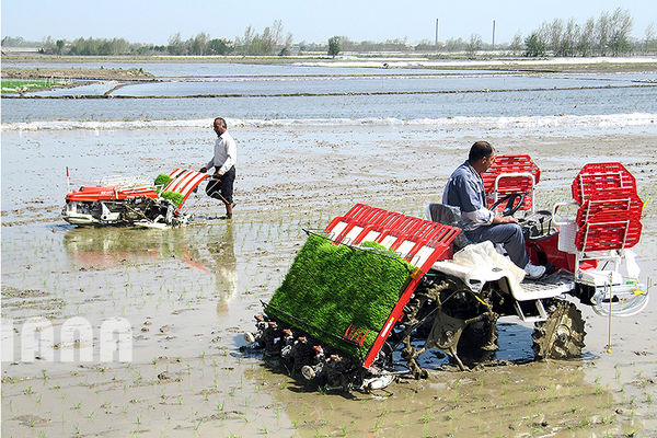 حمایت وزارت جهاد کشاورزی از کشت برنج در استانهای مازندران و گیلان