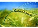 580 هکتار جو در میاندورود کشت شد/ توزیع 18 تن بذر