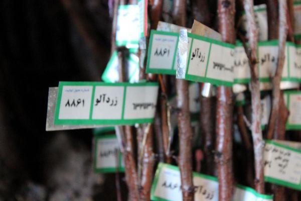آغاز توزیع و فروش نهال در شهرستان سامان