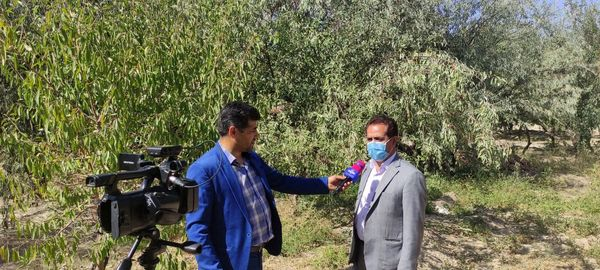 برداشت 1371 تن محصول سنجد از باغات استان آذربایجان شرقی