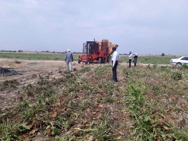 برداشت بیش ۱۵ هزار تن چغندر قند از مزارع جنوب کرمان
