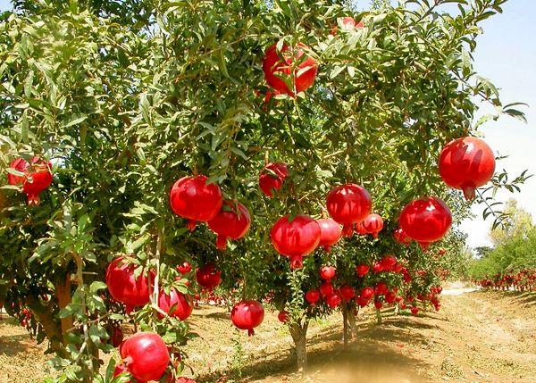 سطح زیر کشت باغات انار در شهرستان کرمان 900 هکتار است