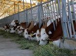 تعداد دورگهای نژاد سمینتال گاو افزایش مییابد