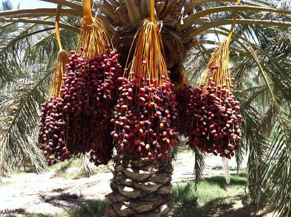 برداشت خرما در سیستان و بلوچستان آغاز شد