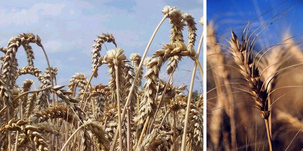 پایان برداشت گندم در پارسیان