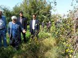 برداشت کنار پیوندی در شهرستان دشتی استان بوشهر آغاز شد