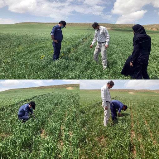 کشت 25 هکتار دانه های روغنی گلرنگ در منطقه آغجه کهل شهرستان مراغه