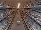 تولید ۱۲ هزار تن تخم مرغ در شهرستان کاشان