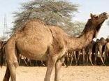 استقبال از پرورش شتر در استان هرمزگان