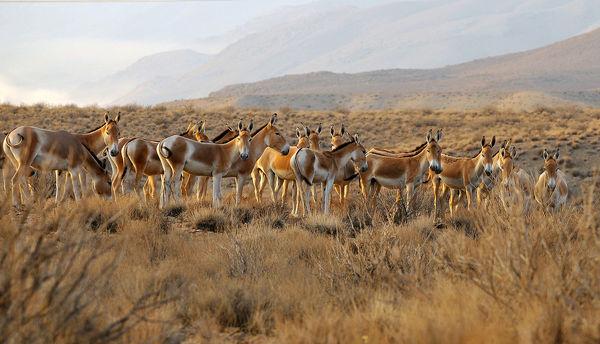افزایش جمعیت گورخرهای ایرانی در ابرکوه