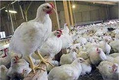 ساماندهی بازار مرغ اصفهان با افزایش تولید