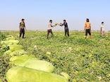 صرفه جویی 37 درصدی مصرف آب در کشت هندوانه
