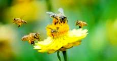 اهمیت زنبور عسل در بحث گردهافشانی